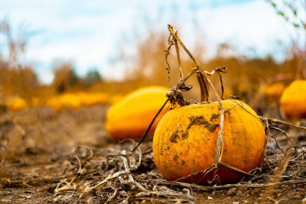 Pumpkins sitting in a field in fall