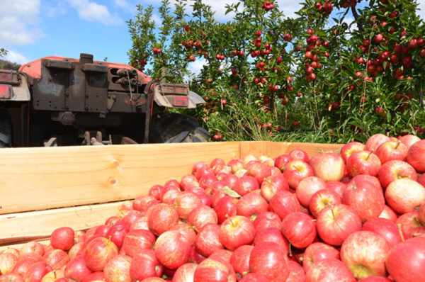 Gala apple variety being harvested at an orchard with apples sitting in a truck against a tree