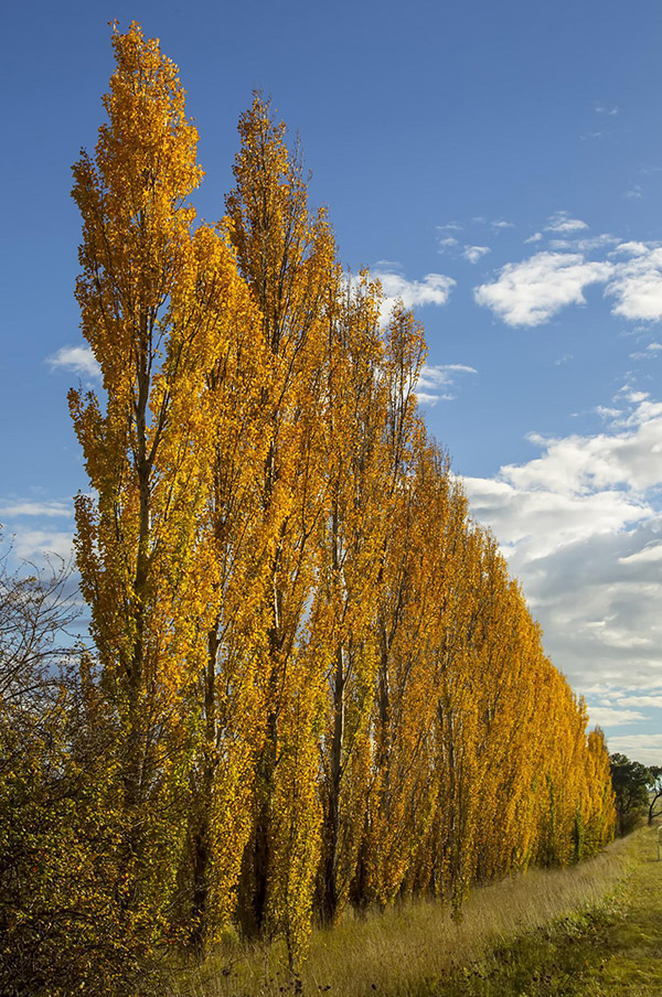 A row of hybrid poplars in fall orange standing in a field