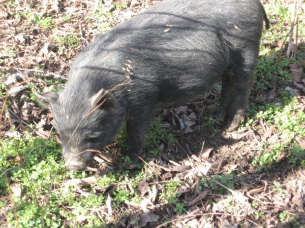 A hog tilling the soil