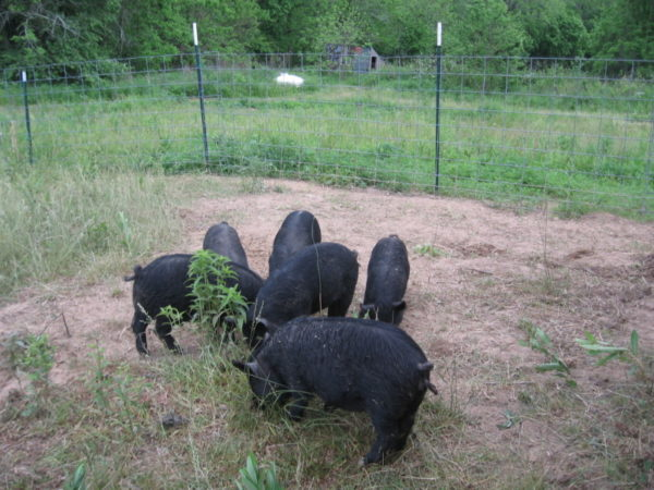 Hogs being used to till soil to control garden pests
