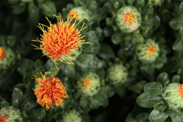Safflower edible flowers