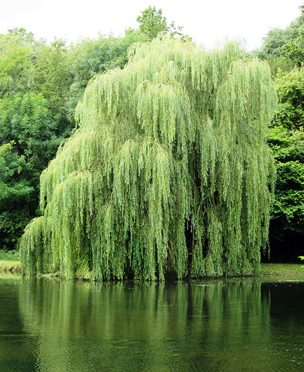 Weeping willow tree against water