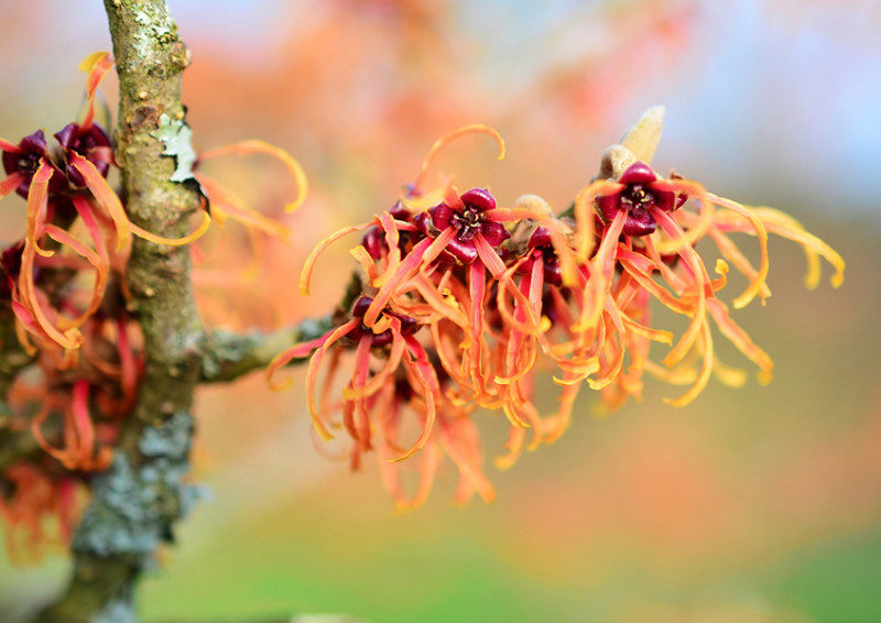 Orange witch hazel blossoms on a branch
