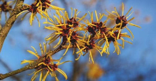 Everything You Need to Know About Witch Hazel and 8 Ways to Use It Now