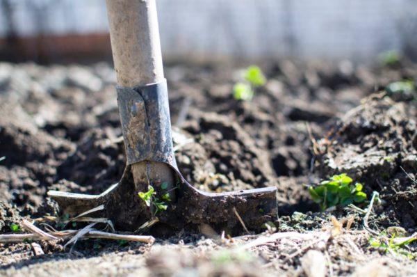 A spade shoveling through dirt in a garden