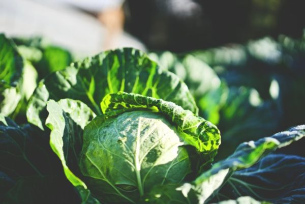 Green cabbage with garden pests