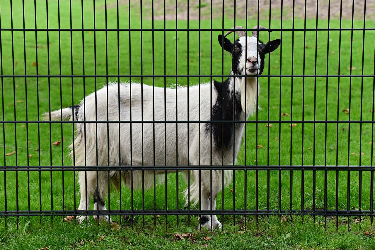 Goat in heat for breeding