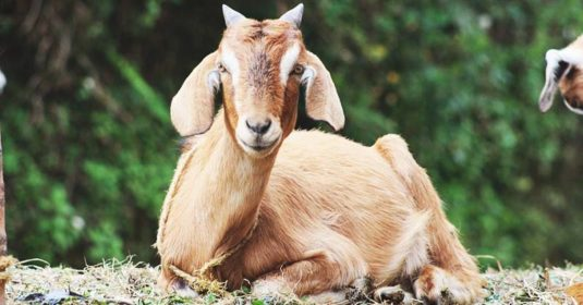 12 Easy Ways to Get Your Goats Ready for Winter and the Freezing Cold