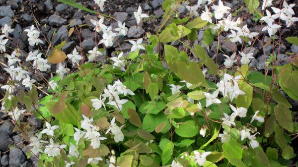 Barrenwort ground cover plant