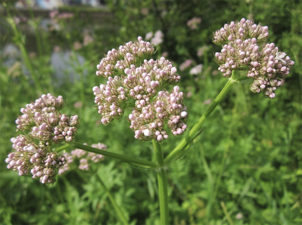The pink blooms of an allheal medicinal plant