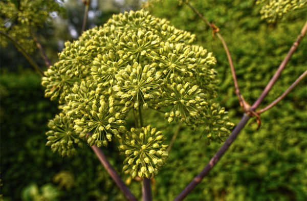 Garden angelica seeds