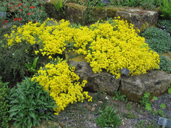 Basket of gold ground cover plants