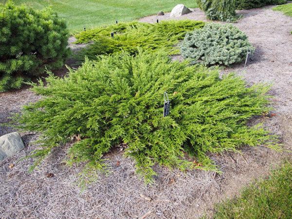 Ground cover Juniperus sabina 'Monna' Calgary Carpet Juniper