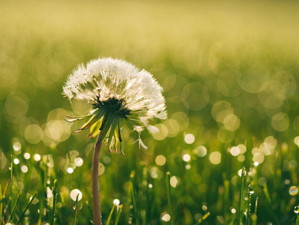 Dandelions can be controlled by natural weed killer