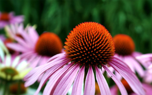 Echinacea medicinal herb flower