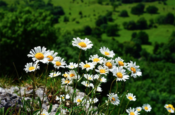 Feverfew flowers on a green hillside