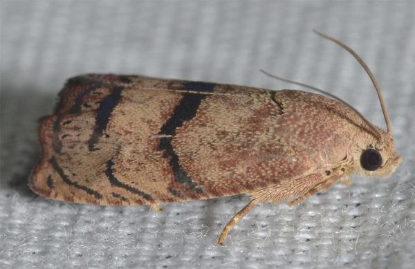 Hazelnut filbertworm moth