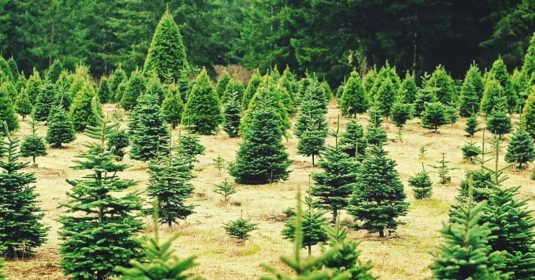 Growing Christmas Trees – How to Grow, Care for and Harvest Christmas Trees