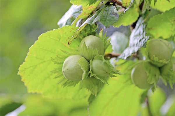 Hazelnut burs