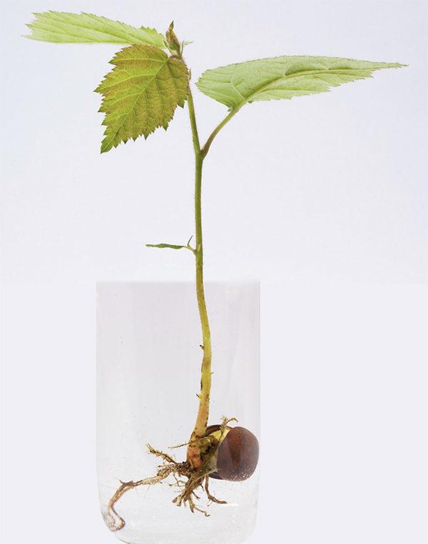 Hazelnut starter in water