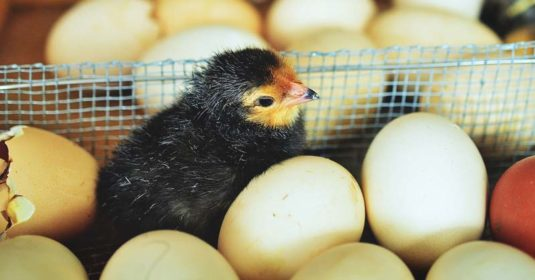 How to Go about Choosing the Perfect Chicken Breeds for You