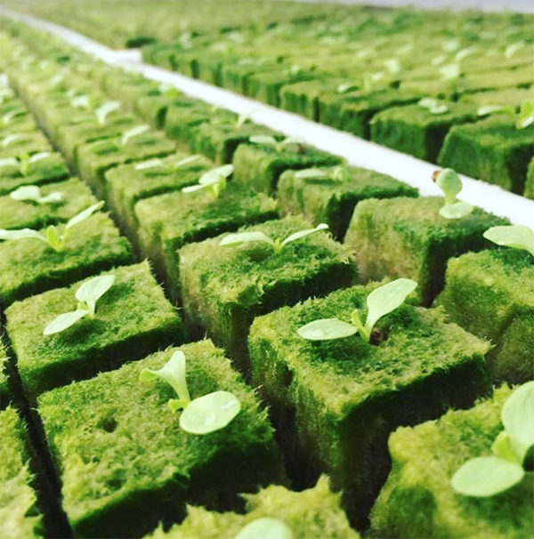 Hydroponic oasis cubes