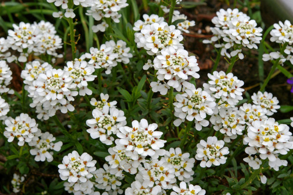 Candytuft ground cover plant blooming white blossoms
