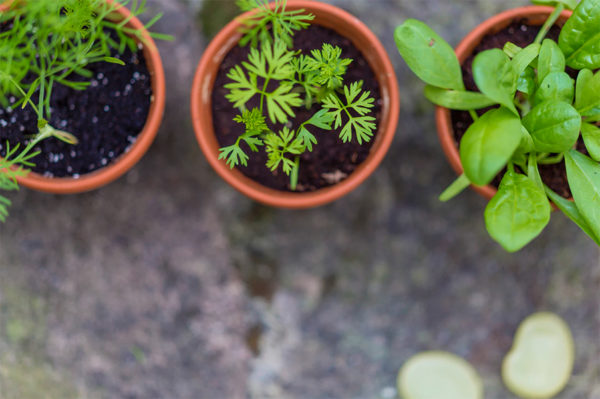 Herbs starting in indoor containers