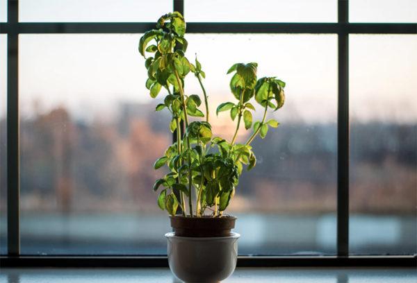 Basil plant that has gotten leggy