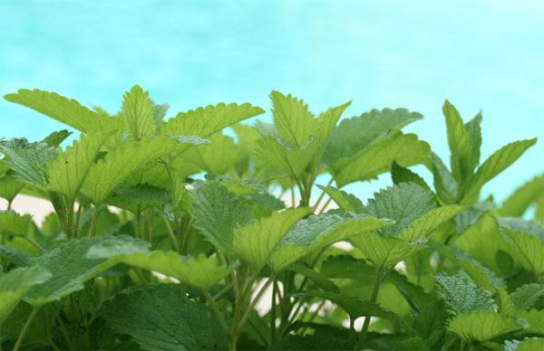 Lemon balm leaves make a powerful medicinal plant