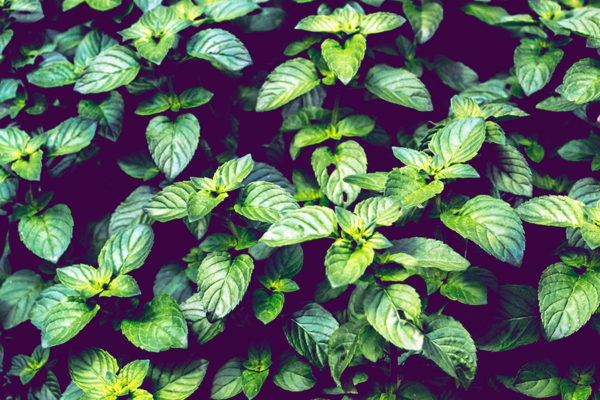 Mint growing in a tight cluster - mint is a useful medicinal plant