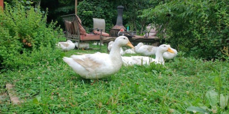 poultry predators