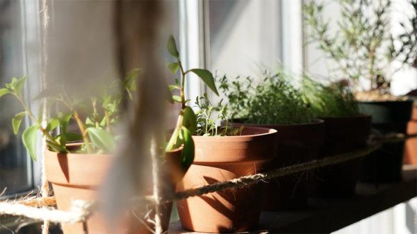 Herb garden plants in a sunny window