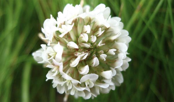 White clover flower up close