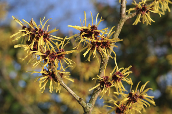 Close-up of witch hazel blossoms on a tree