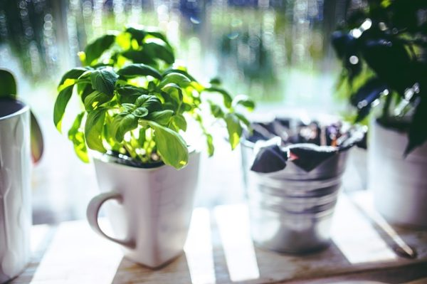 Basil plant in a container indoors