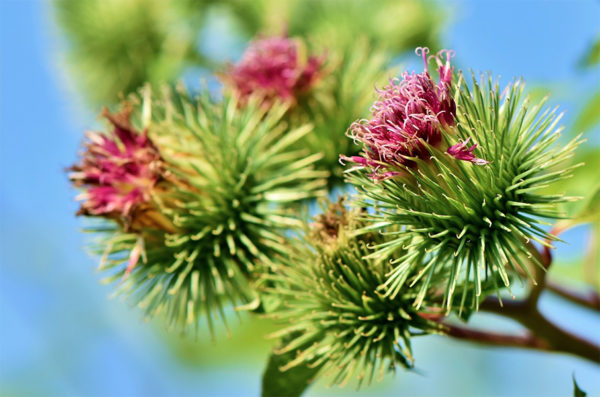Burdock medicinal herb plant up close