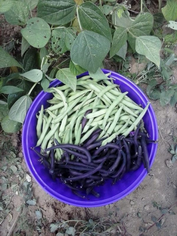 Green and purple beans for a canning garden