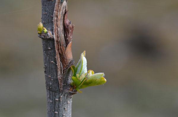 A bud graft