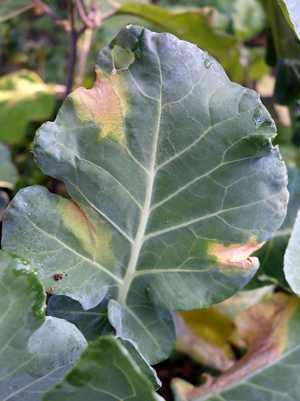 Black rot on a cauliflower leaf