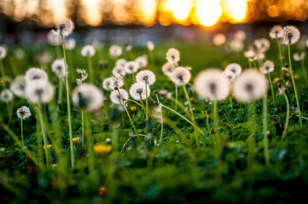 Dandelion poofs in a sunset