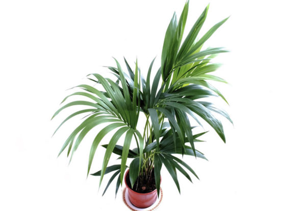 A small potted lady palm which is a cat safe plant