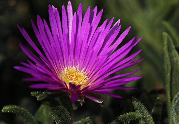 The purple blossom of an ice plant one of many cat safe plants