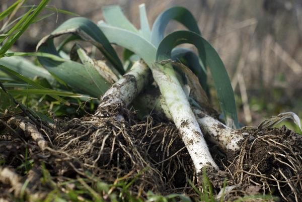 Growing leeks after a recent harvest