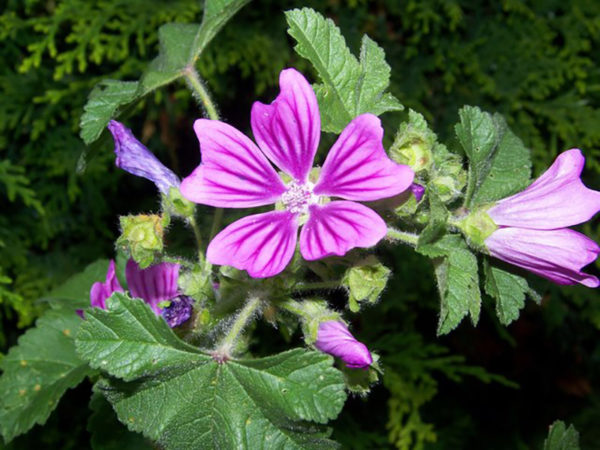 The pink blossom of an edible weed mallow plant