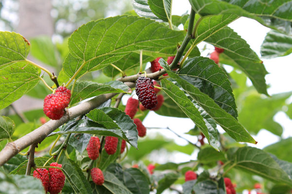 Growing mulberries on a tree branch