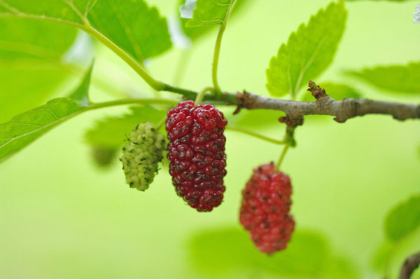 Mulberry fruits ready for harvest
