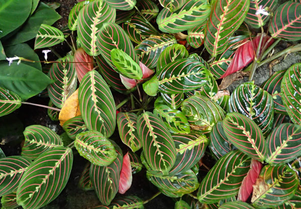Colorful leaves of the prayer plant. The prayer plant is a cat safe plant.