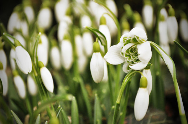 A flower that attracts bees snowdrops blossoming in the spring